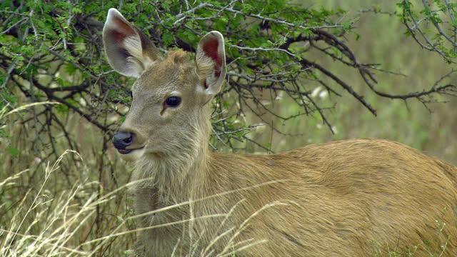 baby sambar deer grazing wetplants in rain forest - closeup shot - antelope stock videos & royalty-free footage