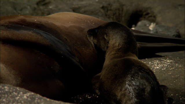 a baby sea lion suckles milk from its mother. - seal pup stock videos & royalty-free footage