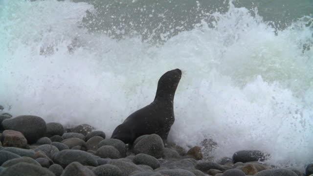 vídeos de stock e filmes b-roll de baby sea lions dives into waves, high speed pan - majestoso