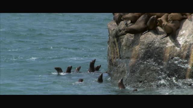 MS PAN Baby sea lions on large rock by ocean