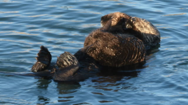 a baby sea otter rests on its mother's belly, morro bay, california - otter stock videos and b-roll footage