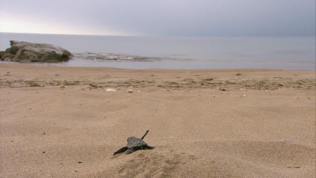MS Baby sea turtle crawling in sand towards ocean / Greece