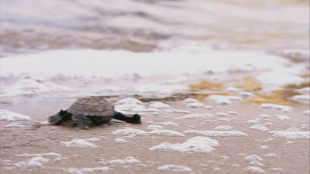 MS CU R/F Baby sea turtle crawls and entering in surf / Greece