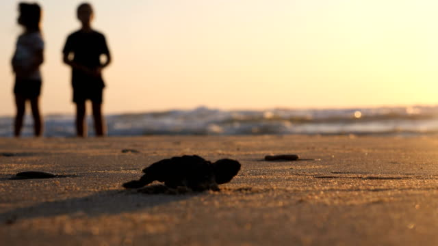 baby sea turtle hatches and walks to the ocean - turtle stock videos & royalty-free footage