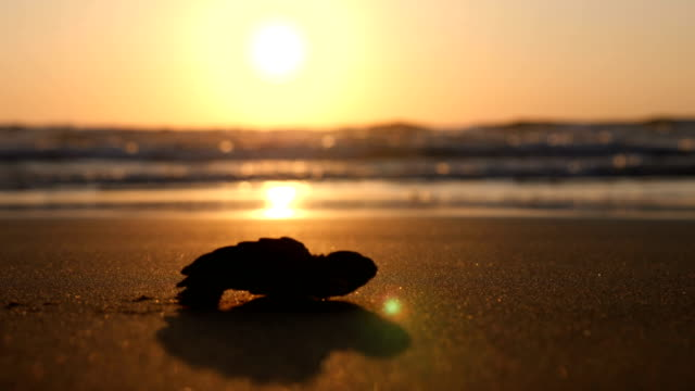 baby sea turtle hatches and walks to the ocean - loggerhead sea turtle stock videos & royalty-free footage