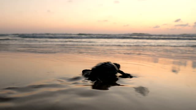 baby sea turtle hatches and walks to the ocean - aquatic organism stock videos & royalty-free footage