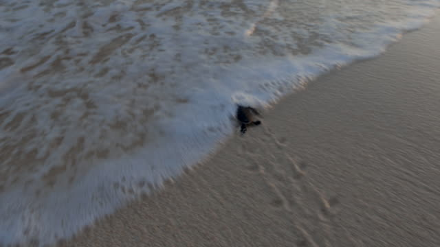 baby sea turtle running down the beach and enters water - tortoise stock videos & royalty-free footage