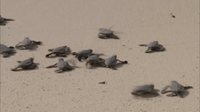 baby sea turtles scramble over a beach towards the shoreline. - sea turtle stock videos & royalty-free footage