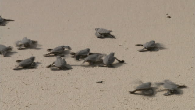 baby sea turtles scramble over a beach towards the shoreline. - chelonioidea stock-videos und b-roll-filmmaterial