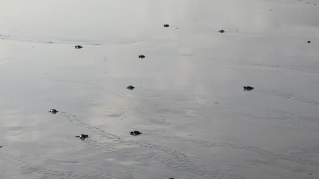 stockvideo's en b-roll-footage met baby zeeschildpadden - hatch