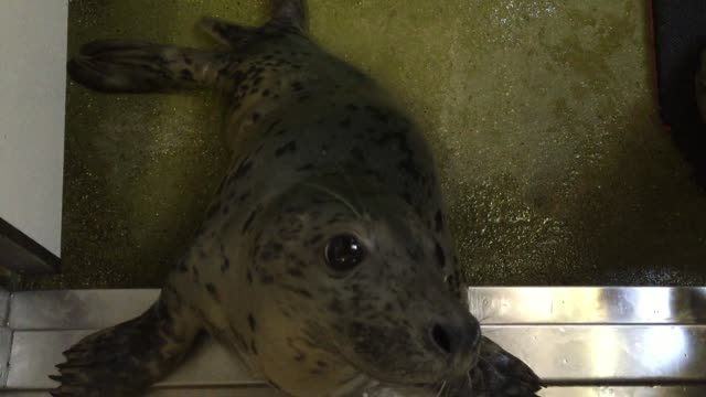 baby seal looks out from its cubicle as it rehabilitates in a ward in the animal welfare building at the rspca centre at west hatch on december 9,... - seal animal stock videos & royalty-free footage