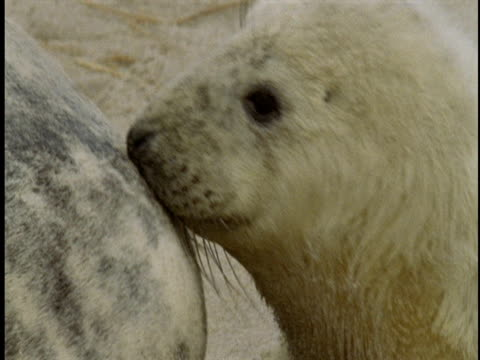 a baby seal tries to nurse from its mother. - gray seal stock videos & royalty-free footage
