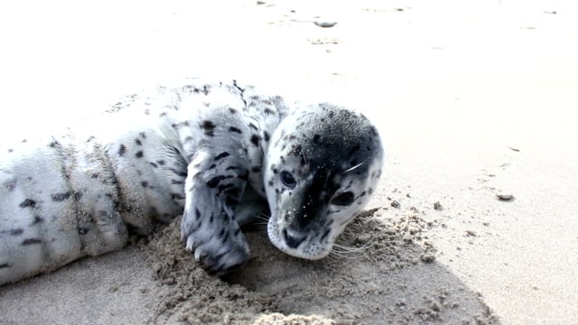 baby seal - seal animal stock videos & royalty-free footage