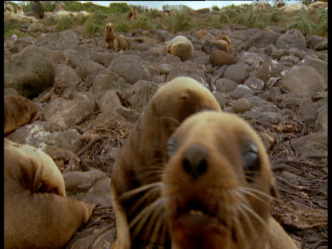 Baby sealions examine camera on beach, New Zealand