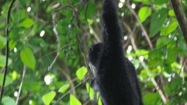 baby siamang (symphalangus syndactylus) clambering on a tree in mount halimun salak national park - java stock videos & royalty-free footage