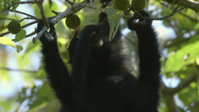 baby siamang (symphalangus syndactylus) eating fruits from a tree in mount halimun salak national park, indonesia - java stock videos & royalty-free footage