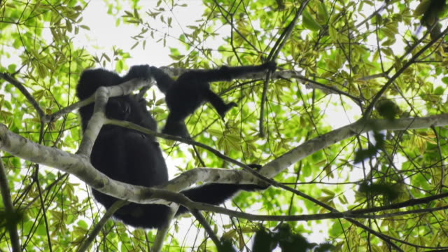 baby siamang (symphalangus syndactylus) playing with a branch next to its mother in mount halimun salak national park, indonesia - hanging stock videos & royalty-free footage