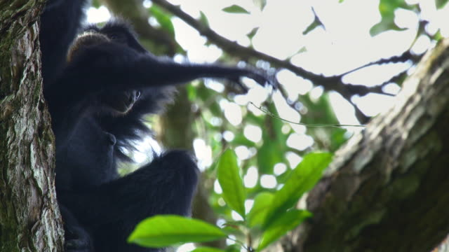 baby siamang (symphalangus syndactylus) playing with a vine on a tree in mount halimun salak national park, indonesia - creazione animale video stock e b–roll