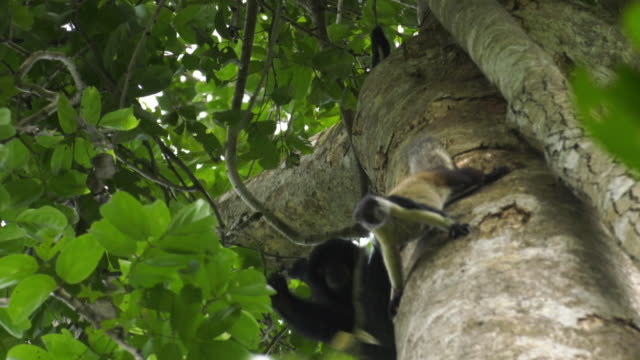 vídeos y material grabado en eventos de stock de baby siamang (symphalangus syndactylus) staring at a squirrel on the tree then chasing in mount halimun salak national park, indonesia - java