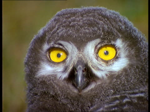 a baby snowy owl blinks its yellow eyes. - snowy owl stock videos and b-roll footage