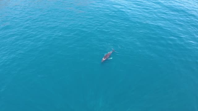 baby southern right whale breaches the sea surface - surfacing stock videos & royalty-free footage