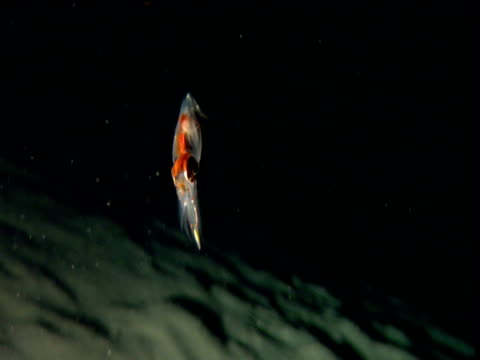 Baby squid hovers over sea bed then jets away squirting ink, Cayman Islands