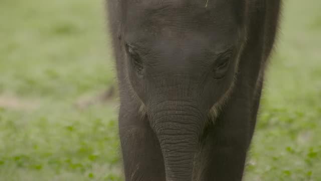 baby sri lankan elephant, sri lanka. - asia stock videos & royalty-free footage