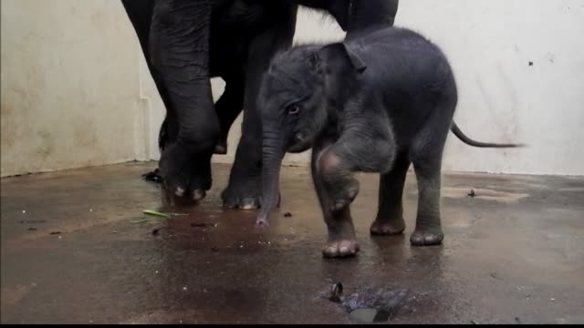 a baby sumatran elephant peeps out timidly from between the legs of its mother at an indonesian zoo where its birth has given a boost to the... - elephant stock videos & royalty-free footage