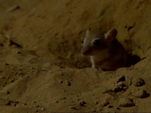 CU Baby Sundevall's Jird emerging from burrow, darts back in, Oman
