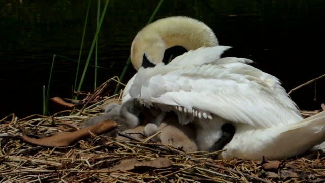baby swans tucking in under mom's wing - cygnet stock videos & royalty-free footage