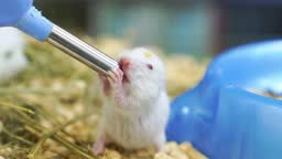 A baby syrian hamster drinking water from a special water bottle in a cage.