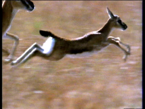 baby thomson's gazelle running over savanna - fawn stock videos and b-roll footage
