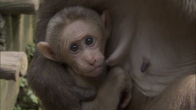 baby tibetan macaque suckles from mother, mount emei, china - primate stock videos & royalty-free footage