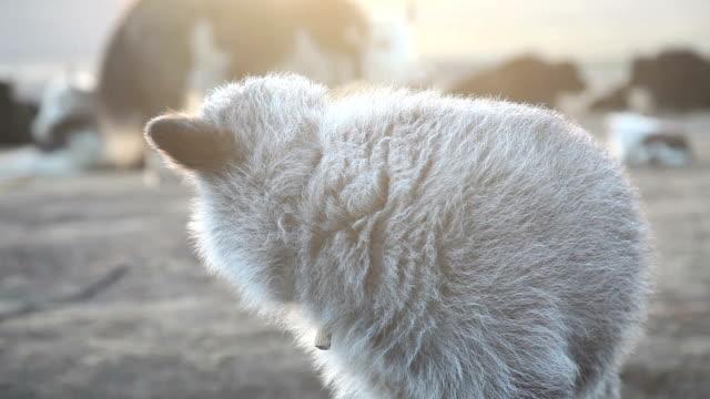 Bébé tibétain yacks (Bos grunniens)