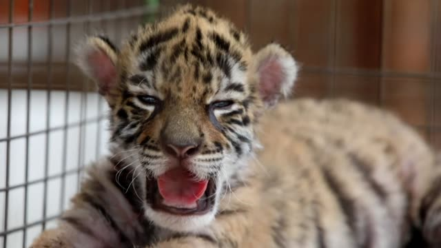 """baby tiger who was born during quarantine has been called """"covid"""" at the mexican africa bio zoo in cordoba - infectious disease stock videos & royalty-free footage"""