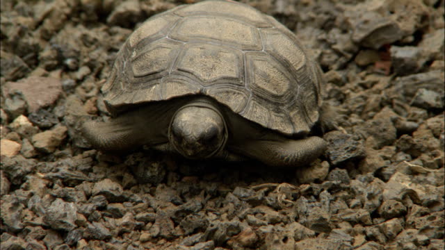 a baby tortoise stretches in its shell. - tortoise shell stock videos & royalty-free footage
