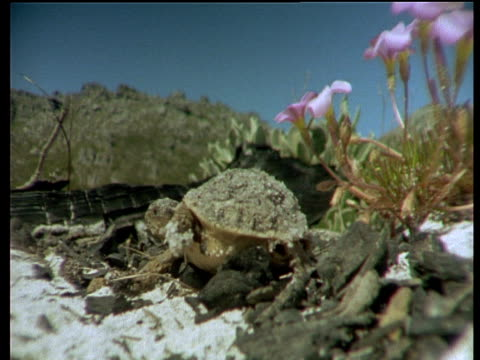 baby tortoise walks over sand towards camera, south africa - babyhood stock videos & royalty-free footage