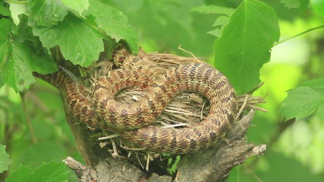 vídeos de stock, filmes e b-roll de baby turdus hortulorum (grey-backed thrush) and snake - reptile