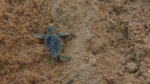 A baby turtle crawling on the beach in Indonesia