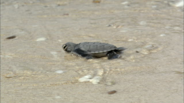 stockvideo's en b-roll-footage met cu ts baby turtle entering sea, vietnam - schildpad