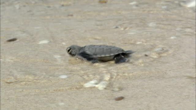 CU TS Baby turtle entering sea, Vietnam