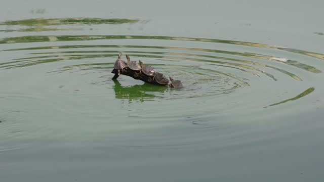 baby turtles are seen sunbathing on a dead tree branch in gulshan lake on april 29, 2021 in dhaka, bangladesh. - tranquil scene stock videos & royalty-free footage