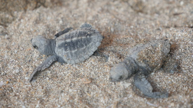 baby turtles / bali, indonesia - eco tourism stock videos & royalty-free footage
