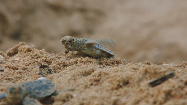 stockvideo's en b-roll-footage met baby turtles crawling on the beach in indonesia - schildpad
