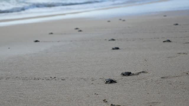 baby turtles crawling toward the ocean / bali, indonesia - environmental conservation stock videos & royalty-free footage