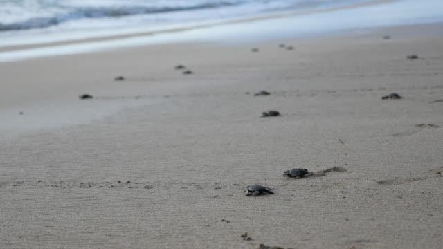 baby turtles crawling toward the ocean / bali, indonesia - sea turtle stock videos & royalty-free footage