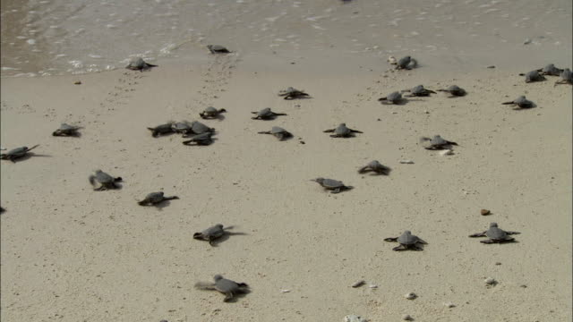 ws ha baby turtles crawling towards sea, vietnam - large group of animals stock videos and b-roll footage