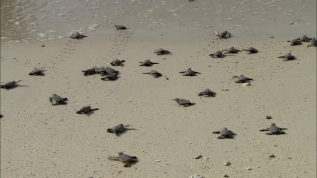 WS HA Baby turtles crawling towards sea, Vietnam