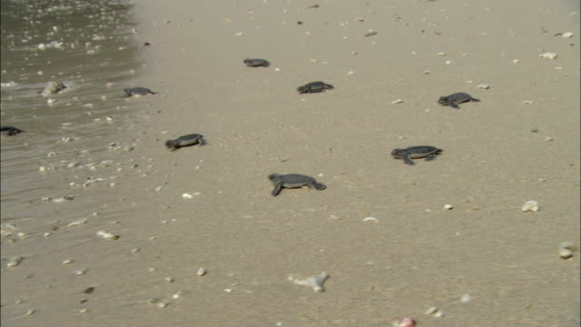 ws ds ts baby turtles heading for sea, vietnam - tartaruga video stock e b–roll