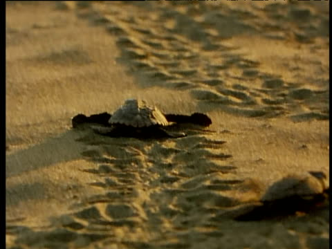 baby turtles make their way down the beach at sunset, one enters the sea - tortoise stock videos and b-roll footage